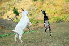 Billy goat fight royalty free stock image