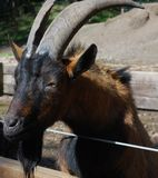 Billy Goat Gruff Stock Photography