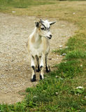 Billy Goat Gruff Royalty Free Stock Images