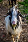 Billy Goat in Ham Lake, Minnesota fotografia stock libera da diritti