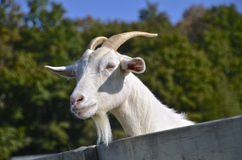 Billy Goat leans over a fence Stock Photos