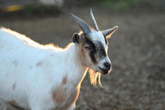 Billy Goat Looking Imagens de Stock Royalty Free