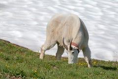 Billy Goat masculino que alimenta no snowfield do monte do furacão foto de stock royalty free