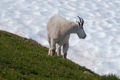 Billy Goat masculino que anda ao lado do snowfield do monte do furacão imagens de stock royalty free