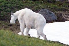 Billy Goat masculino que anda no snowfield do monte do furacão imagem de stock royalty free
