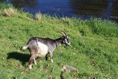 Billy Goat on the meadow Royalty Free Stock Images
