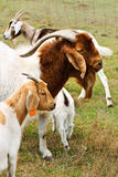 Billy goat with nanny goats Stock Photo