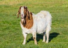 Billy Goat Royalty Free Stock Photos