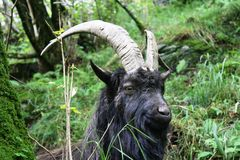 Billy Goat op de manier dichtbij inversnaid Schotland van het het westenhoogland Stock Fotografie