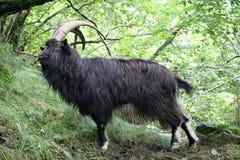 Billy Goat på västra höglands- väg nära inversnaid Skottland royaltyfri bild