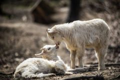 Billy goat. Pair of funny goatlings, kids Stock Photography