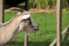 Billy goat in petting zoo enclosure Stock Image