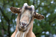 Billy Goat Portrait Stock Photo