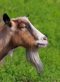 Billy goat portrait Stock Images