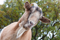 Billy Goat Portrait Stock Image
