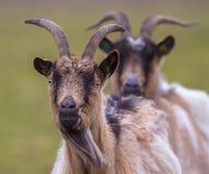 Billy goat portrait Stock Image