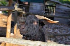 Billy Goat portrait in Umbria Stock Photo