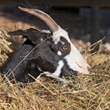 Billy Goat-portret in Umbrië Stock Afbeelding
