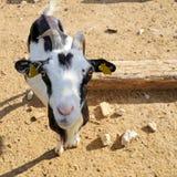 Billy Goat-portret in Umbrië Royalty-vrije Stock Foto's