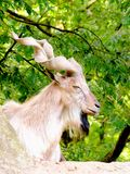 Billy-goat Stock Photography