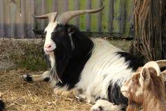 Billy Goat Resting royalty-vrije stock foto