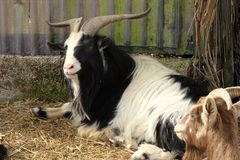 Billy goat resting Royalty Free Stock Photo