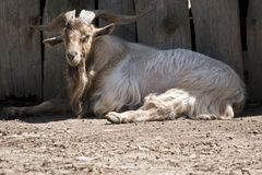 A billy goat. The billy goat is resting in the shade royalty free stock image