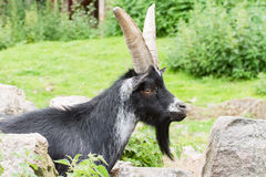 Billy-Goat Stock Images