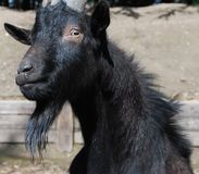 Billy Goat Staredown Immagini Stock