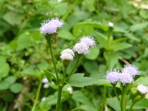 Billy Goat weed. Close up of Billy Goat weed or Chickweed flower & x28; Ageratum conyzoides & x29; and green leaves on small tree in sunlight at the morning Stock Image