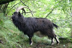 Billy Goat on west highland way near inversnaid Scotland Royalty Free Stock Image
