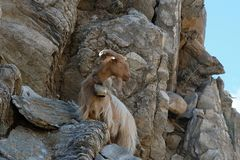 Free Billy-goat With Bell On The Rock In Crete Stock Images - 163672174