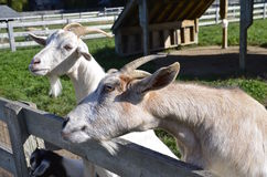 Billy Goats lean on fence Stock Image
