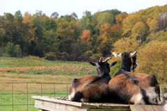 Billy goats on wood bed,overlooking pumpkin patch Stock Photo