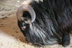 Billy il capro del pigmy Immagine Stock