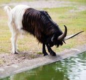 Billy kózka na dzikim parku narodowym Obrazy Stock