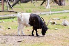 Billy kózka na dzikim parku narodowym Fotografia Stock