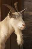 Billy The Kid. A goat taken at Magnolia Gardens SC Stock Image