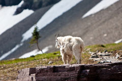 Billy Mountain Goat on Large Rock Stock Image
