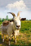 Billy-Ziege auf Wiese lizenzfreies stockbild