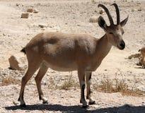 Billy-Ziege in der Wüste Lizenzfreies Stockfoto