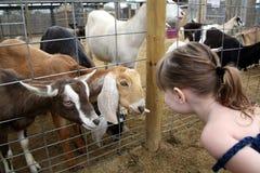 Billy-Ziegen, die mit einem Kind sprechen Lizenzfreie Stockfotografie