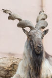 Billygoat 3. Big billygoat guard his zone in a zoo stock photo