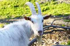 Billygoat face. Some goat and billygoat free in a farm royalty free stock photos