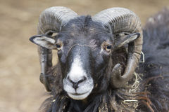 Billygoat in the farm. A billygoat in the farm stock photography
