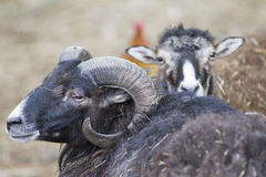 Billygoat in the farm. A billygoat in the farm stock images