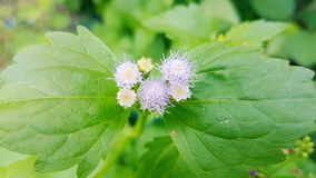 Billygoat-Unkraut, Kükenunkraut, Blumen Lizenzfreie Stockbilder