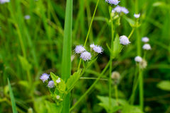 Billygoat-weed. Close up of billygoat-weed, chick weed, goatweed, whiteweed, the little violet flower stock photography