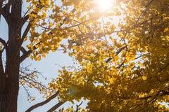 biloba重点银杏树叶子留给浅 图库摄影