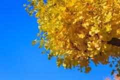 biloba重点银杏树叶子留给浅 免版税库存图片